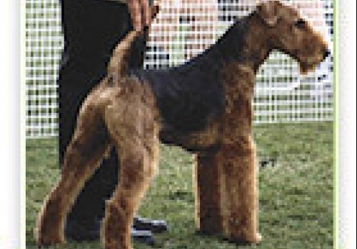 כלב איירדייל טרייר
