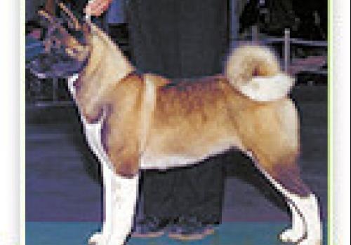כלב אקיטה