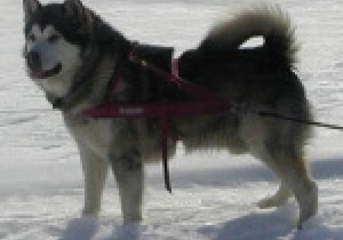 כלב אלסקן מלמוט