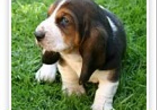 כלב באסט