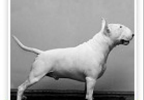 כלב בול טרייר