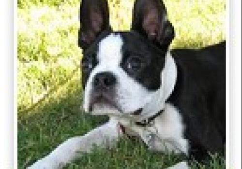 כלב בוסטון טרייר