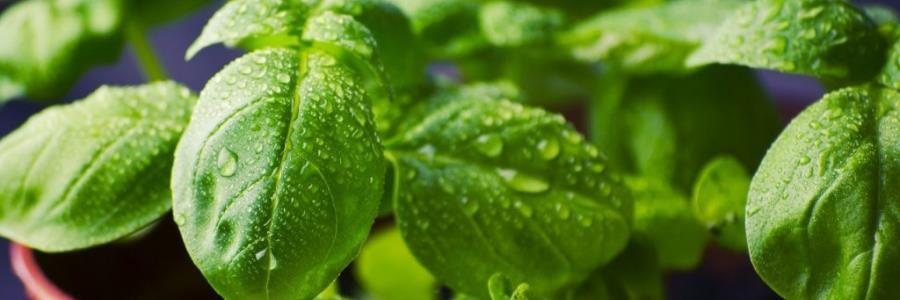 תרשמו, אלו הצמחים הכי מתאימים לגידול הידרופוני